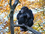 Chimpansee (Pan troglodytes)